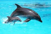 stock photo of deep blue  - Dolphin With A Baby Floating In The Water - JPG