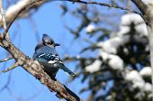 image of blue jay  - Gorgeous blue jay bird on tree branch in winter.