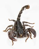 foto of scorpion  - Close up of black scorpion in white background - JPG