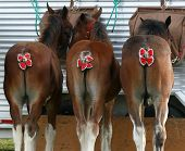 foto of clydesdale  - A rear view of three Clydesdale horses ready for showing with pretty red bows tied into their tails - JPG