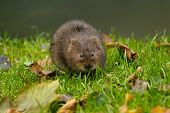 picture of terrestrial animal  - Water Vole on river bank in Sussex England - JPG
