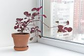stock photo of plant species  - Potted flowers on the windowsill in a pot - JPG