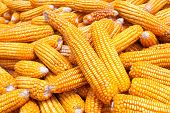 image of corn cob close-up  - Close up golden dired corn cob background - JPG