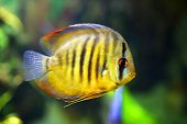 stock photo of diskus  - beautiful diskus in the aquarium - JPG