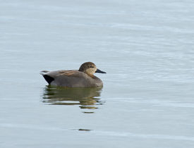 pic of gadwall  - Male Gadwall duck on water with reflection - JPG