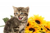 picture of yellow tabby  - Cute baby tabby kitten with yellow flowers on white background - JPG