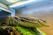 stock photo of lizards  - Monitor lizard (Varanus) in the terrarium. Large reptile monitor lizard in a glass cage. Big lizard.