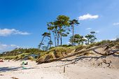 foto of windswept  - Darss Weststrand beach with the typical windswept trees - JPG