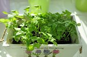 stock photo of planters  - Growing herbs at home - JPG