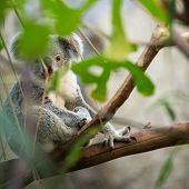 stock photo of eucalyptus leaves  - Koala on a tree with bush green background - JPG