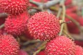 picture of laxatives  - wild fruit from forest wild lychee or Nephelium hypoleucum - JPG