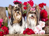 foto of beaver  - Beaver york terrier and pink roses - JPG