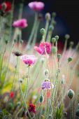 foto of opium  - Opium poppy flower angkhang mountain chiang mai Thailand - JPG