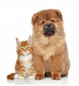 image of chow-chow  - Maine Coon kitten and Chow Chow puppy - JPG