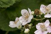 image of stamen  - Image of Blackberry Flower - JPG