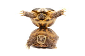 picture of russian tortoise  - Russian Tortoise or Central Asian tortoise - JPG