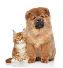 picture of coon dog  - Maine Coon kitten and Chow Chow puppy - JPG
