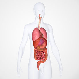 stock photo of rectum  - There are several organs and other components involved in the digestion of food and the largest structure of the digestive system is the gastrointestinal tract - JPG