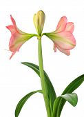 pic of belladonna  - blooming opening amaryllis isolated on white background - JPG
