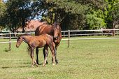 picture of colt  - Horse mare and foal colt on stud farm field - JPG