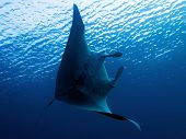 foto of manta ray  - Manta  - JPG