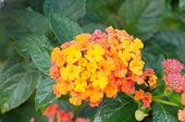 picture of lantana  - Orange lantana camara flowers blooming in garden