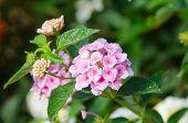 pic of lantana  - Pink lantana camara flowers blooming in garden - JPG