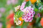 foto of lantana  - Pink lantana camara flowers blooming in garden - JPG