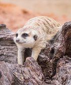 pic of meerkats  - Meerkat laid down on the wood and keep relaxing - JPG