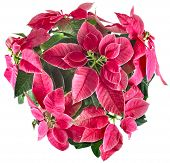 stock photo of christmas flower  - christmas flower poinsettia group in flower pot top view  isolated on a white background - JPG