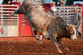 image of brahma  - A brahma bull without a rider in a rodeo.