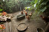 pic of poultry  - Some Chickens in the poultry yard eating - JPG