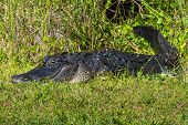foto of crocodilian  - American Alligator Laying in the Grass in the Florida Everglades - JPG