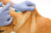 picture of vet  - Closeup Vet giving injection the dog  - JPG