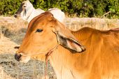 picture of cows  - asian cow in rice paddy field in countryside for background - JPG