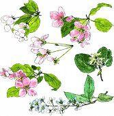 picture of cherries  - set of spring flowers of trees - JPG