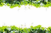 image of gourds  - Green leaves frame of sponge gourd isolated on white background - JPG