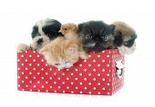image of puppy kitten  - persian kitten puppy shih tzu and chick in front of white background - JPG