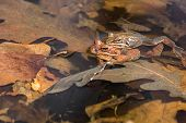 image of zygote  - Two Wood Frogs breeding in a vernal pool.
