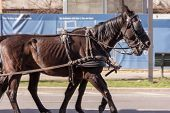 stock photo of saddle-horse  - two dark and beauty brown horse ride through the street with saddle - JPG