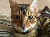 image of bengal cat  - Cat Bengal breed - JPG