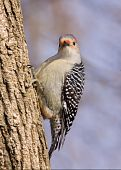 Red-bellied Woodpecker On A Tree Trunk