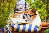 stock photo of jacking  - jack russell dog reading his favorite booksurrounded by green plants relaxing and sitting on a lounger or deck chair outside - JPG