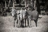 pic of cuddle  - Cuddling Black White Zebra Sandwich in jungle  - JPG
