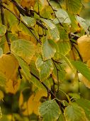 Yellow Birch Leaves In Rainy Day poster