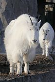 image of baby goat  - Mountain goat (oreamnos americanus) with cute baby goat cub ** Note: Shallow depth of field - JPG