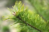 stock photo of conifers  - One green twig of conifer growning in spring - JPG