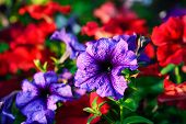 pic of petunia  - Floral background - JPG