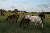 picture of dapple-grey  - Horse herd pastures in Mozhaysk near Moscow - JPG