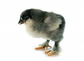 picture of brahma  - brahma chick in front of white background - JPG